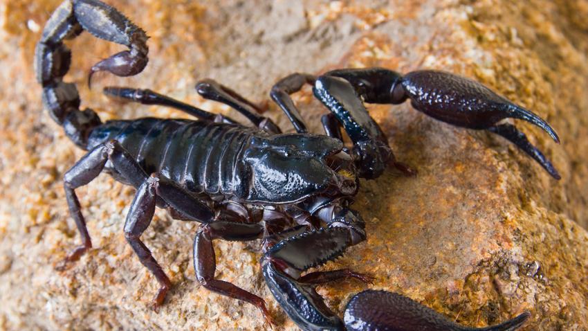 Skorpion Foto