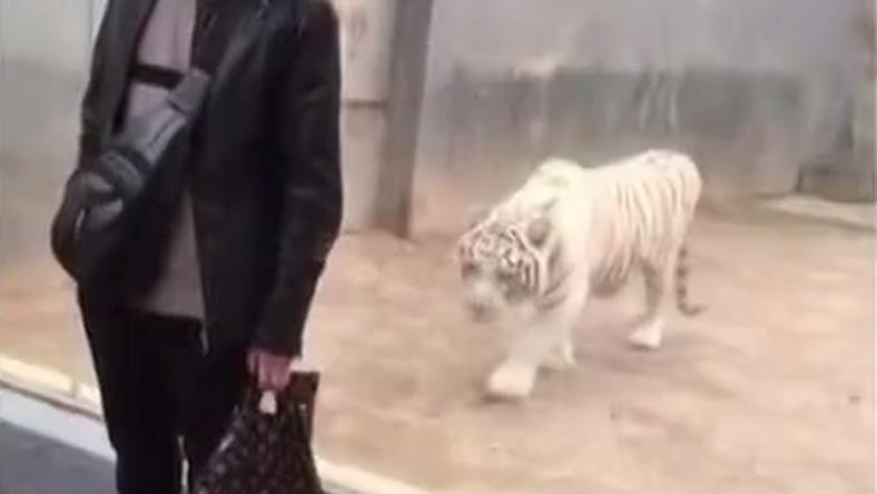 Fehér tigris akart rátámadni egy látogatóra