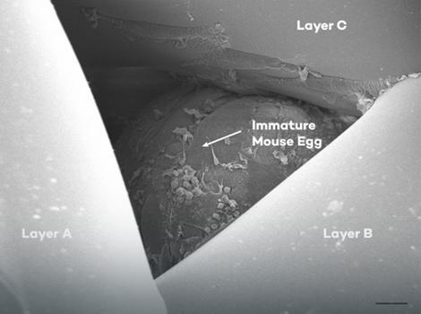 Veštački jajnik pod mikroskopom