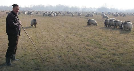 Stotine ovaca sa Vlašića zimuje u Lijevču