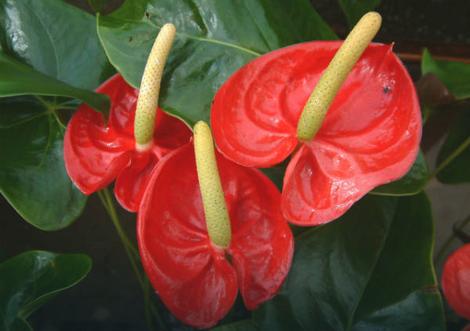Flamingov cvet