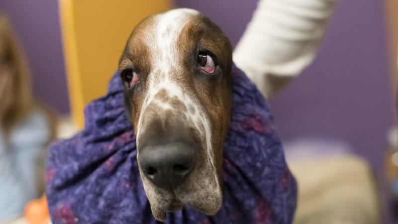 Kutyakiállítás az Egyesült Államokban / Fotó: MTI