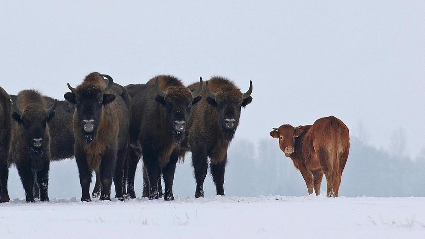 Zabiją krowę z żubrzego stada? Potrzebny jest sponsor, który ją ocali