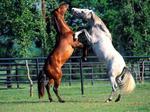 koniem