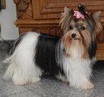 Biewer yorkshire terrier ♥