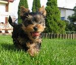 Yorkshire terrier ♥♥♥
