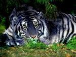tygrysem