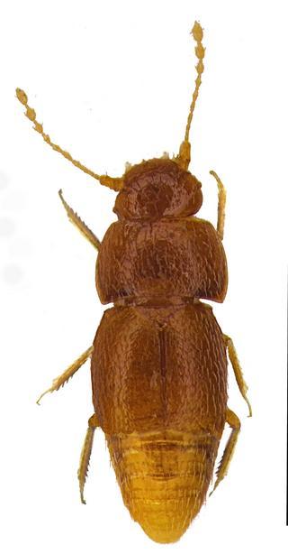 Mały chrząszcz, wielka sprawa
