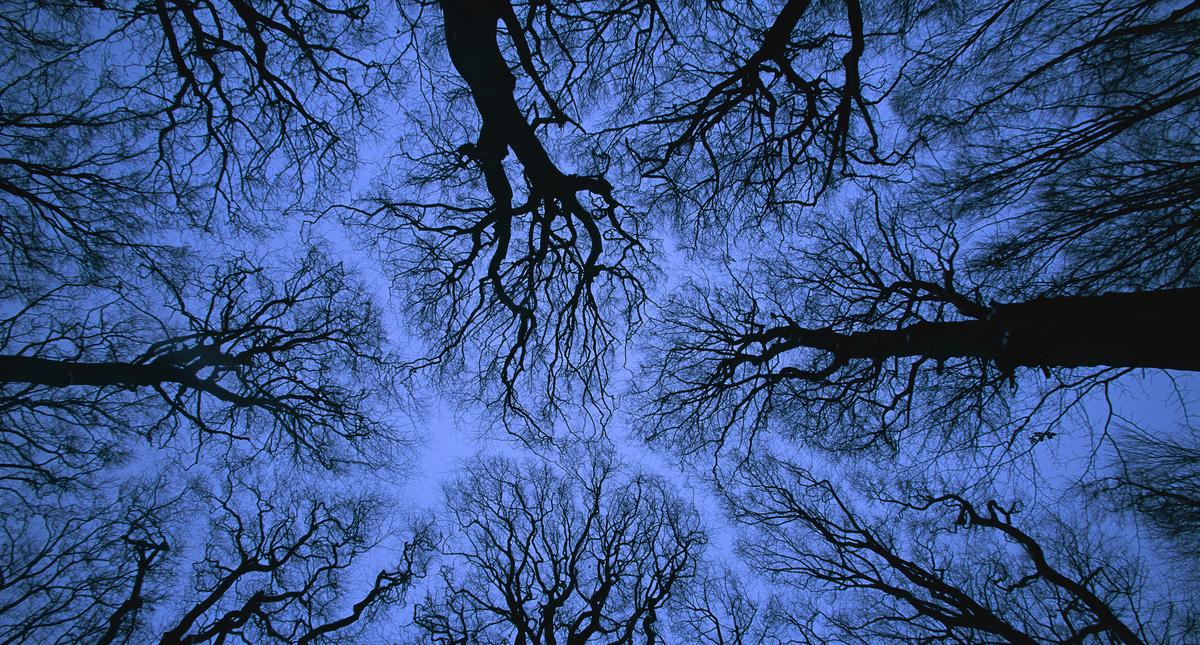 Looking up into leafless canopy in the winter showing crown shyness, blue hour, Jasmund National Par