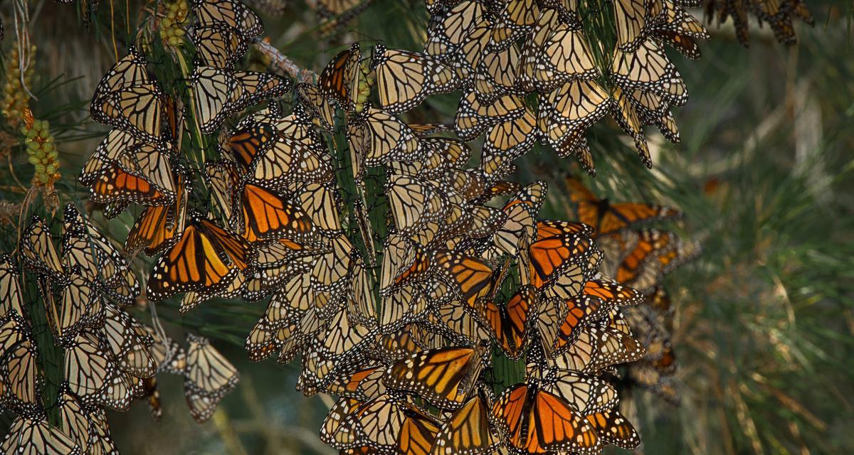 Niezniszczalny jak monarcha