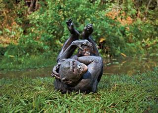 Nie ma jak u mamy bonobo
