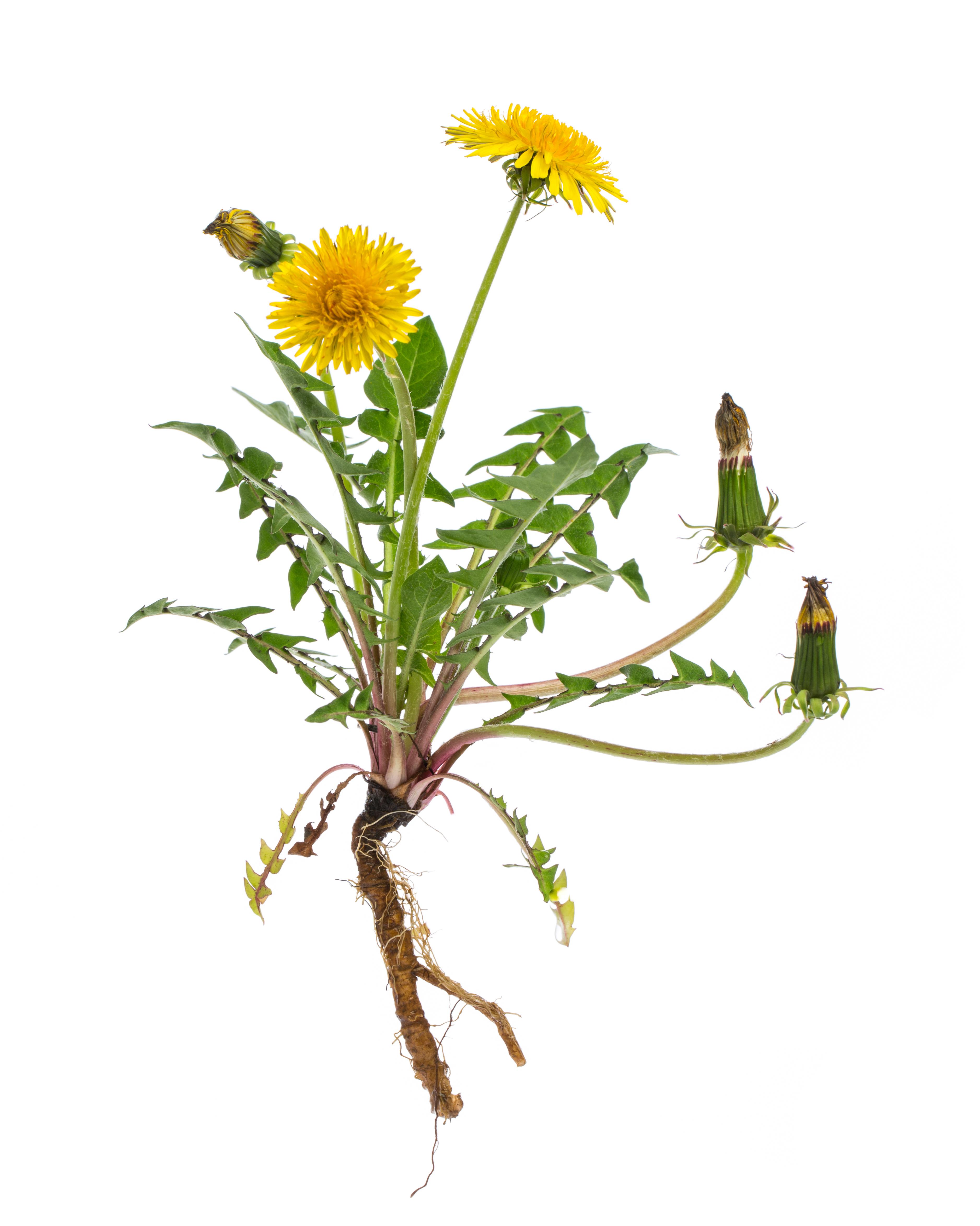 Gyógynövények, hogy lefogyjon. Az 5 legjobb gyógynövény a karcsúság eléréséhez