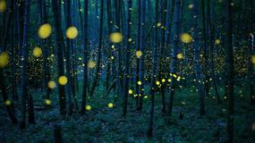 ZAČARANA ŠUMA Magične fotografije: Kako je hiljade svitaca OTERALO TAMU