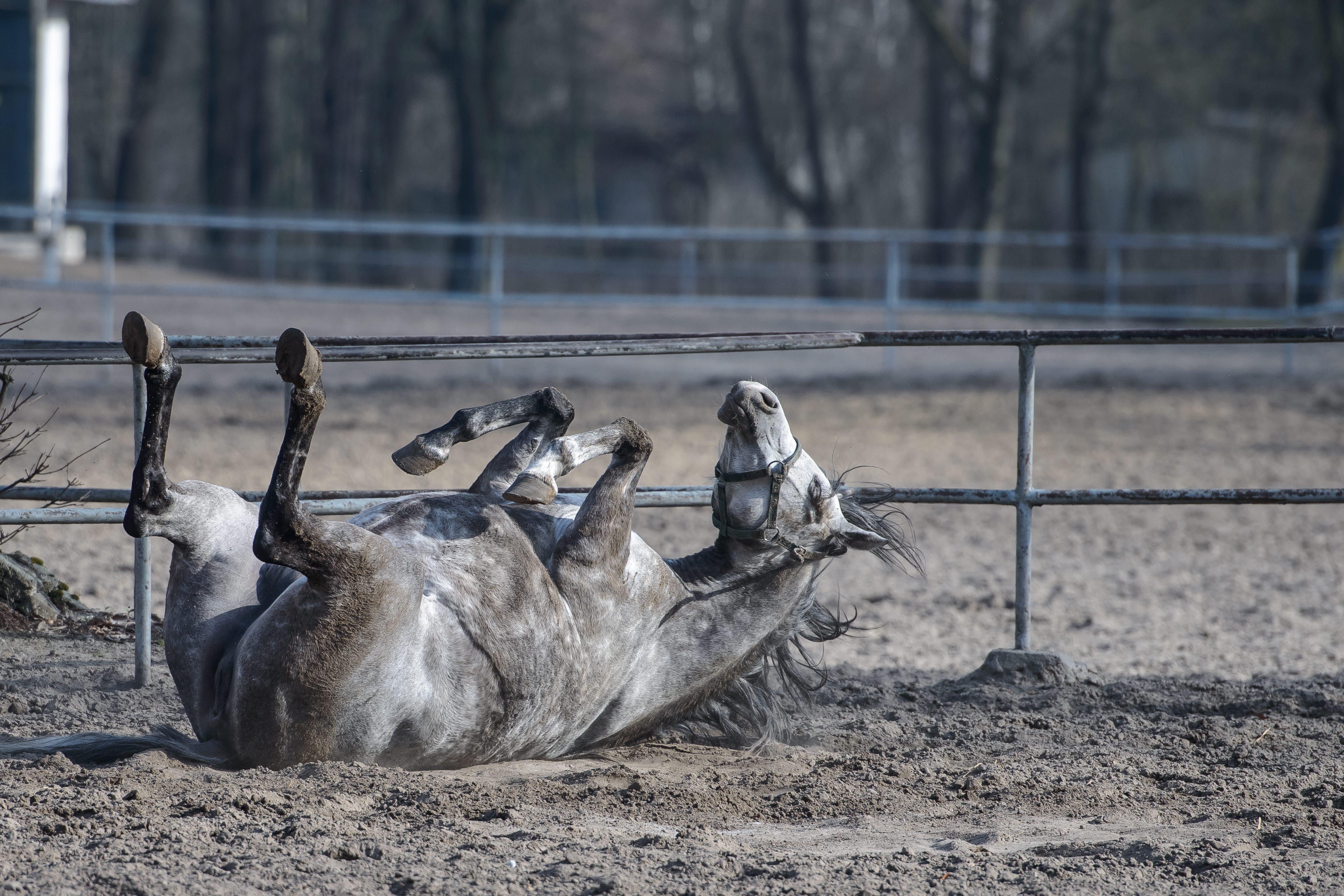 Konie Arabskie śmierć Klaczy Shirley Watts W Janowie Podlaskim
