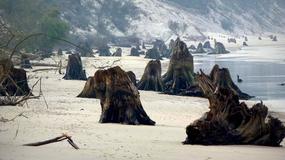 Morze odsłoniło zatopiony las na polskim Wybrzeżu. Wkrótce może zniknąć
