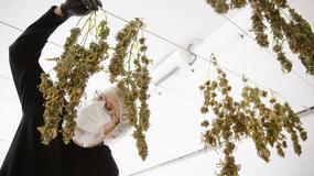 """Szef marihuanowego imperium: """"To świetny biznes. Polski rząd powinien się o tym przekonać"""""""