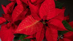 Gwiazda betlejemska to doskonała ozdoba świąteczna. Jak ją pielęgnować?