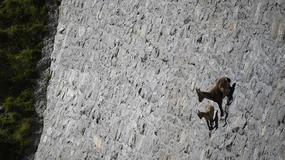 Szalona wspinaczka alpejskich koziorożców po prawie pionowej ścianie