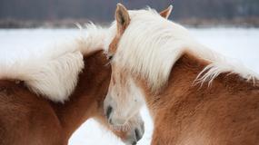 Prelepe rase konja za koje niste znali da postoje