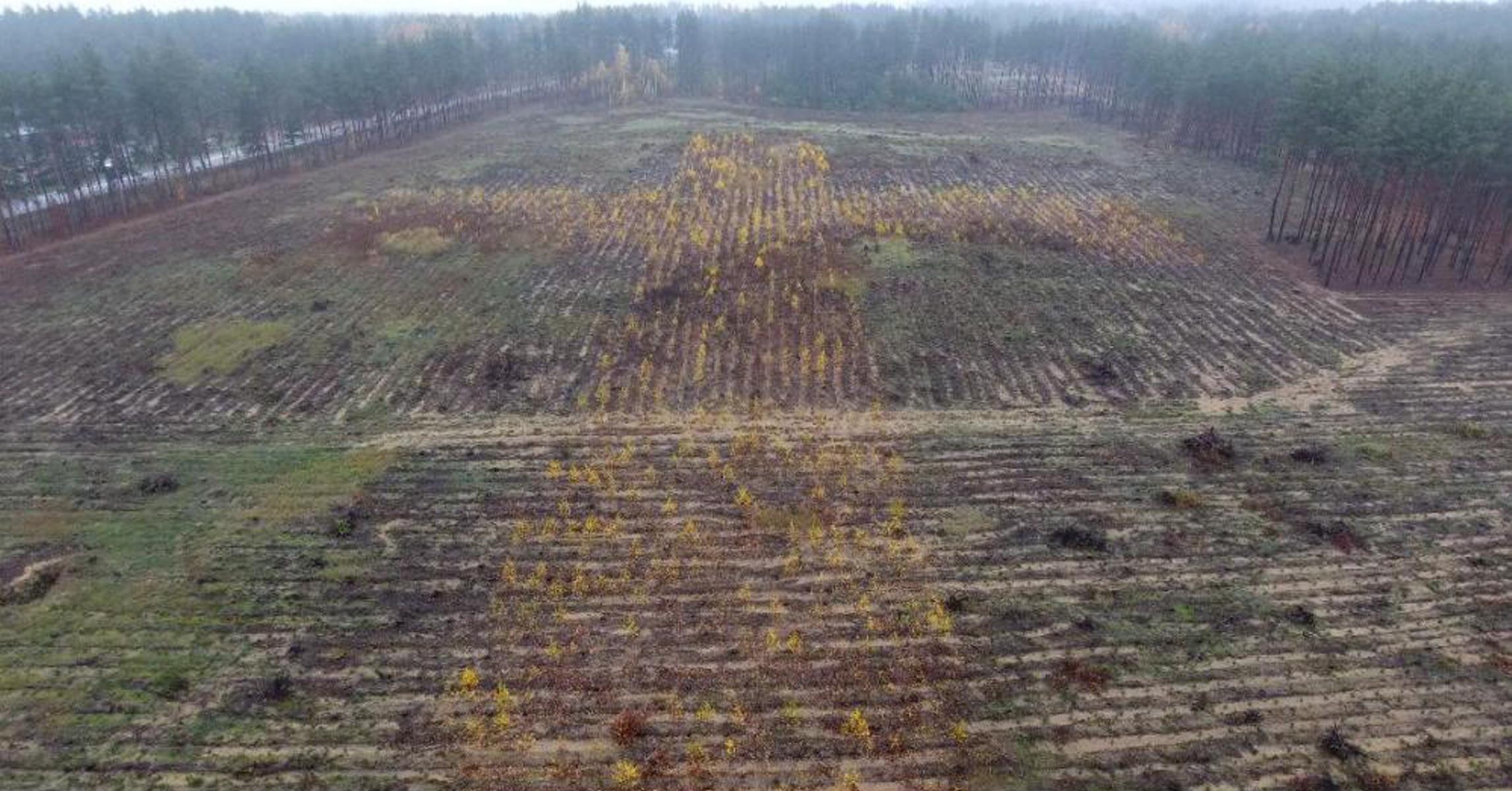 Под Белостоком посадили лес в форме креста