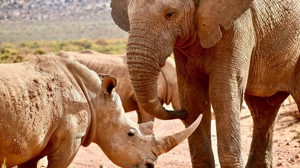 Nashorn-Jäger wird von Elefanten totgetrampelt – dann von Löwen aufgegessen
