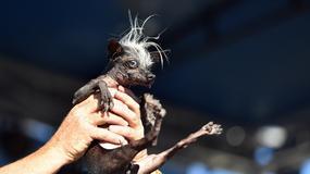 Oni su zvanično najružniji psi na svetu, ali ipak su NEODOLJIVI
