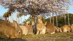 Okunoshima - wyspa królików i opuszczonych fabryk produkujących broń chemiczną