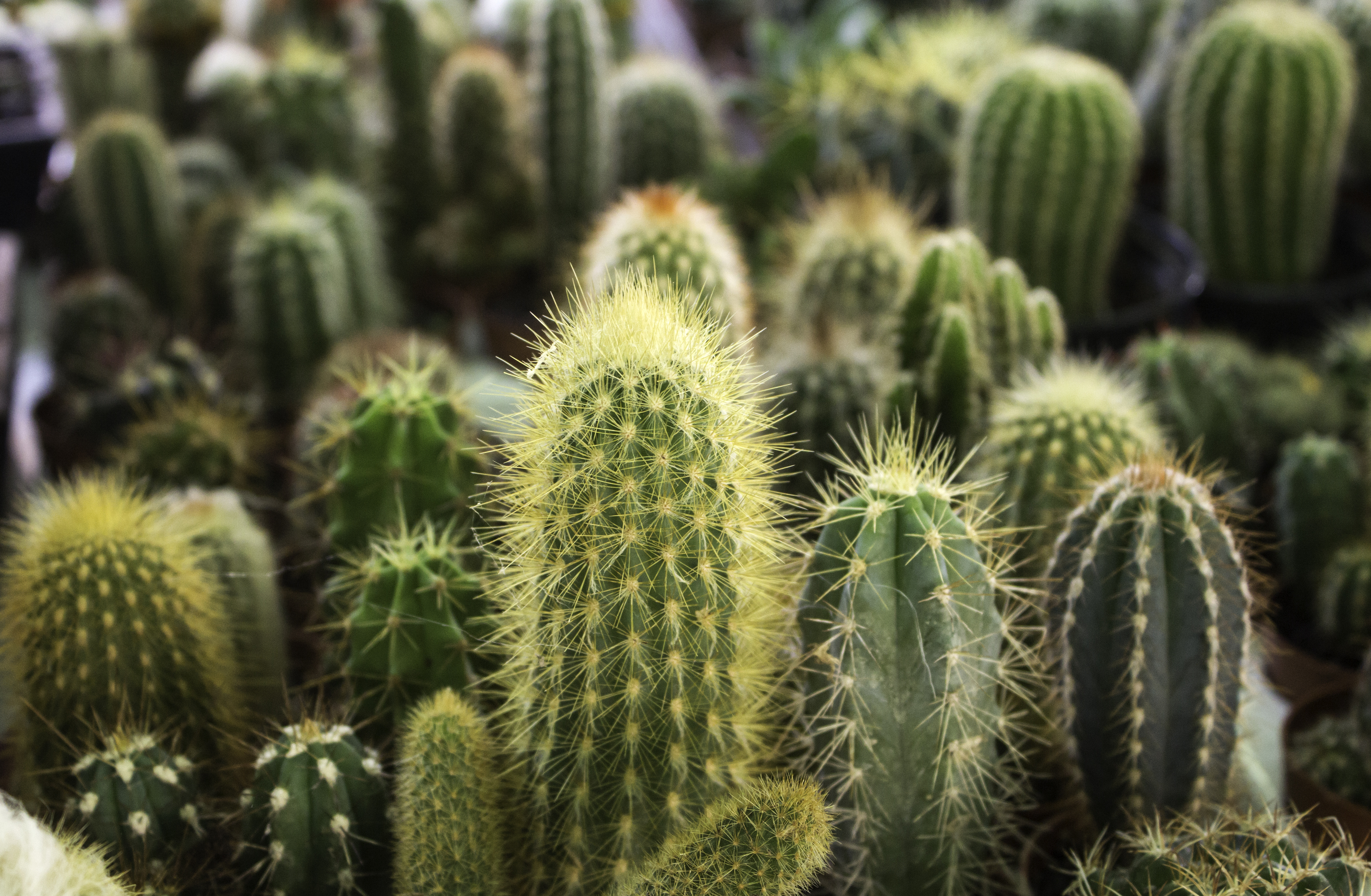 Kaktusy Doniczkowe Rodzaje Kwitnące W Domu Gatunki Podlewanie Dom