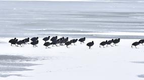 MALI HRABRI BORCI Pogledajte kako DEBELI MINUS preživljavaju labudovi, čaplje i gnjurci