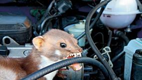 Czym odstraszyć zwięrzęta niszczące auto?