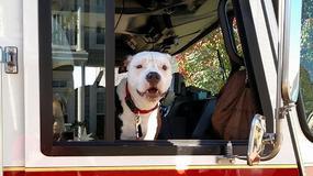 Ovo je Džerki - pas koji je preživeo požar, pa postao VATROGASAC