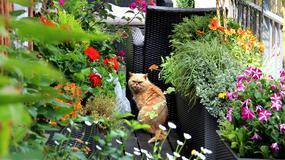 Siedem długo i efektownie kwitnących roślin na balkony i do donic: pelargonia, czubatka ubiorkolistna, gazania