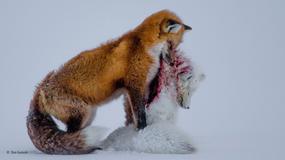Zwycięzcy konkursu Wildlife Photographer of the Year 2015 - najlepsze zdjęcia przyrodnicze