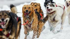1850 KILOMETARA DIVLJINE Najuzbudljivija trka pasa na svetu je upravo počela