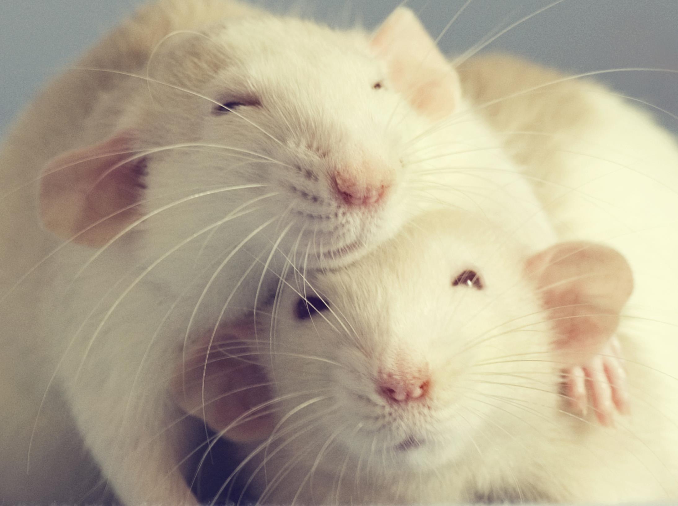 Szczury Są Wrażliwe Jak Zachowują Się Zwierzęta Które Zwykliśmy Tępić Nauka Newsweek Pl