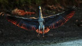 KRALJEVSTVO ČAPLJI Ove fotografije iz Vojvodine očaraće i najiskusnije posmatrače ptica