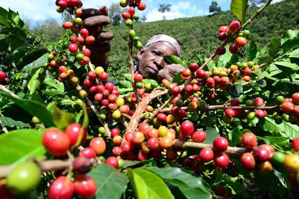 Mt. Kenya farmers up in arms about Uhuru's new regulation on coffee farming  [ARTICLE] - Pulse Live Kenya