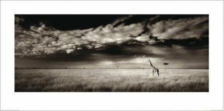 Safari, Żyrafa - Obraz, reprodukcja