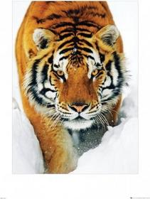 Tiger Snow - Obraz, reprodukcja