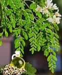 Opinie o STARKL Moringa - drzewo życia 1 szt
