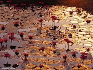 Lotus Pond - Obraz, reprodukcja