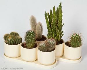 kaktusy w doniczkach
