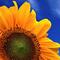 Słonecznikowa