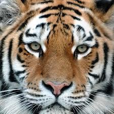 Kochamy Tygrysy!