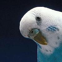 Klub Miłośników Papug Falistych I Ich Właścicieli