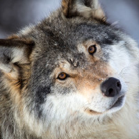 Klub Miłośników Wilków <3
