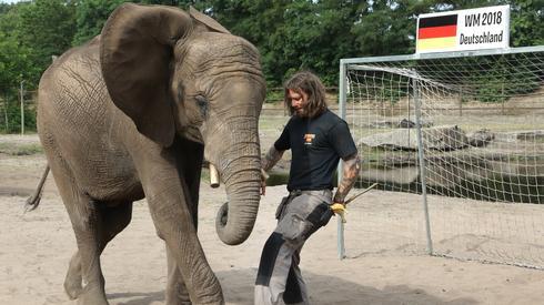 W ostatnich latach popularne stało się typowanie wyników meczów na wielkich turniejach przez zwierzęta. W Niemczech wyniki ma typować słonica Nelly z ZOO w Hodenhagen (fot. PAP/EPA)