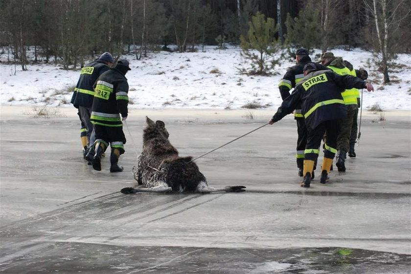 Brawo strażacy. Uratowali łosia