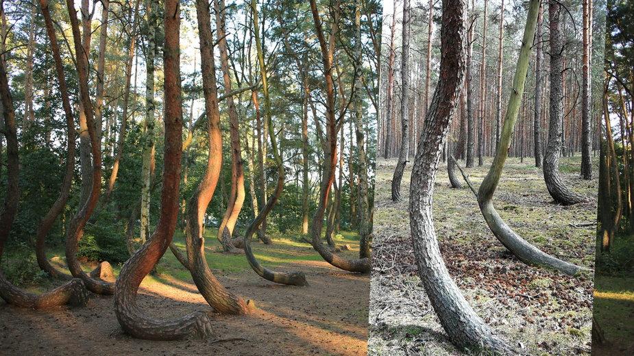 Krzywy las jest nie tylko w okolicy Gryfina, ale i na Dolnym Śląsku