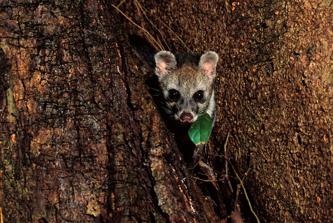 Virus SARS došao je sa cibetki, malih sisara